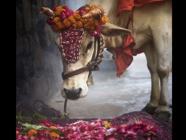 Why Hindus Don't Eat Beef