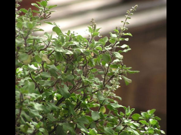 Beauty Benefits Using Basil Skin