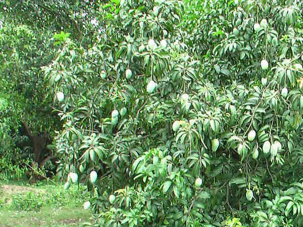 Where does the Langra Aam get its Name from