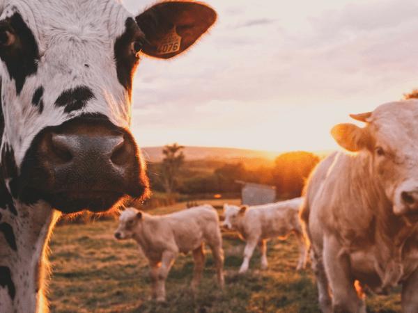 ગાય ના દૂધ થી થતા આ 7 ફાયદાઓ વિષે જાણો