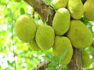 Health Benefits Jackfruit