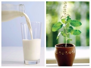 Health Benefits Drink Tulsi Milk