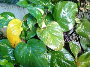 Uses Money Plant Attracts Wealth Money Good Fortune